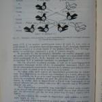 Rasele de porumbei din Romania - Feliciu Bonatiu (122)