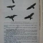Rasele de porumbei din Romania - Feliciu Bonatiu (188)