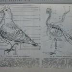 Rasele de porumbei din Romania - Feliciu Bonatiu (28)