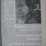 Rasele de porumbei din Romania - Feliciu Bonatiu (33)