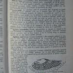Rasele de porumbei din Romania - Feliciu Bonatiu (37)