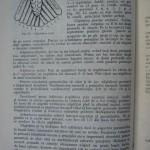 Rasele de porumbei din Romania - Feliciu Bonatiu (38)