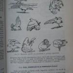 Rasele de porumbei din Romania - Feliciu Bonatiu (97)