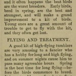 The flying Tippler & Tumbler pigeon by G. Smith0023