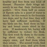 The flying Tippler & Tumbler pigeon by G. Smith0026