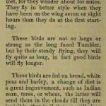 The flying Tippler & Tumbler pigeon by G. Smith0052