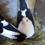barsesc danut porumbei (0)