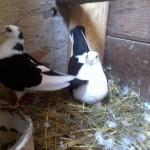 barsesc danut porumbei (1)