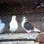 barsesc danut porumbei (2)