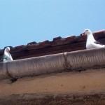 barsesc danut porumbei (3)