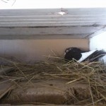 barsesc danut porumbei (4)
