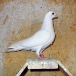 vacut dorian porumbei