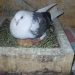 vacut dorian porumbei (2)