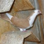 vacut dorian porumbei (3)