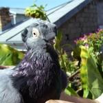 neagu p. ghiorghe porumbei (1)