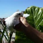 neagu p. ghiorghe porumbei (3)