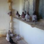 neagu p. ghiorghe porumbei (5)
