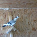 neagoe-liviu-daniel-porumbei