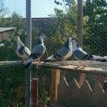 neagoe-liviu-daniel-porumbei (2)