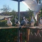 neagoe-liviu-daniel-porumbei (3)