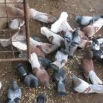 Comanov Dumitru porumbei (1)