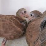 Dafinoiu Tudorel porumbei (3)